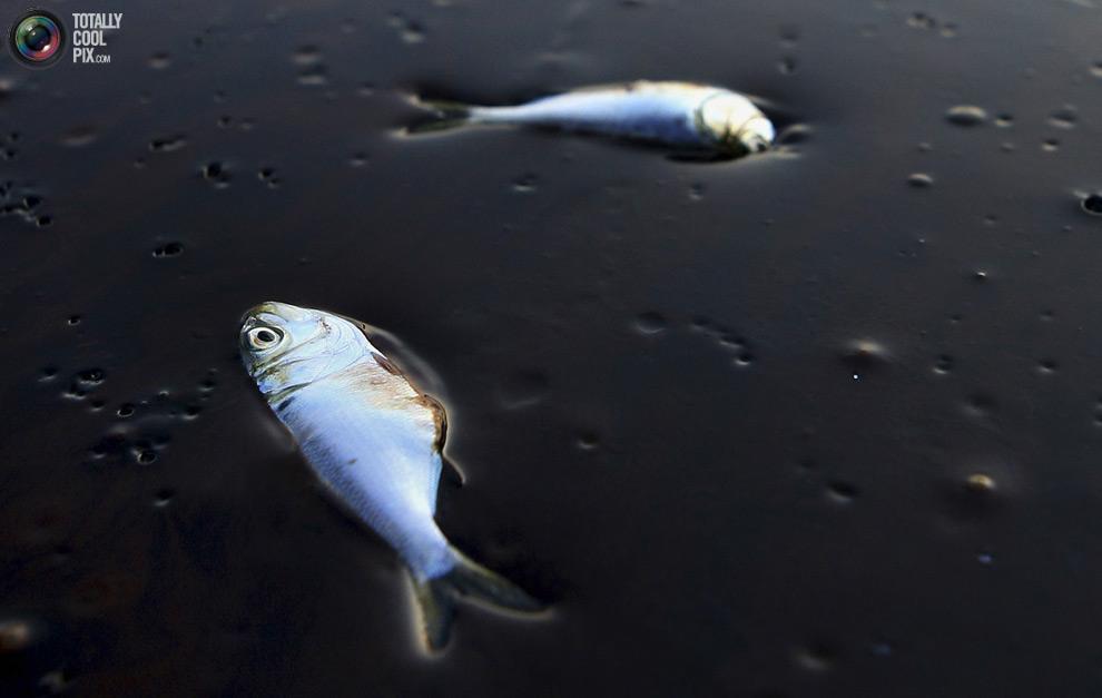Мёртвые рыбы в залитом нефтью водоёме